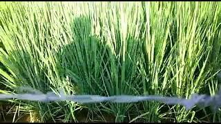 धान की जैविक खेती जैविक किसान विषमुक्त कृषि