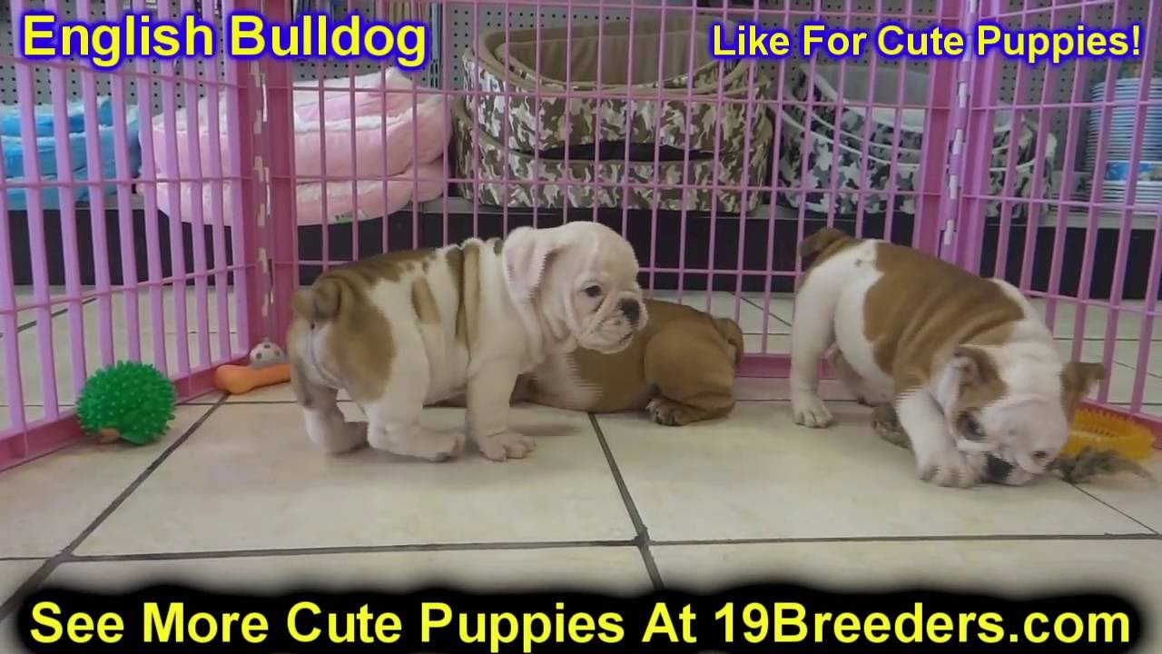 english bulldog, puppies, dogs, for sale, in anchorage