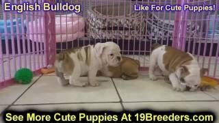 English Bulldog, Puppies, For, Sale, In, Anchorage, Alaska,AK, Fairbanks, Juneau, Eagle River