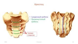 Кости скелета туловища