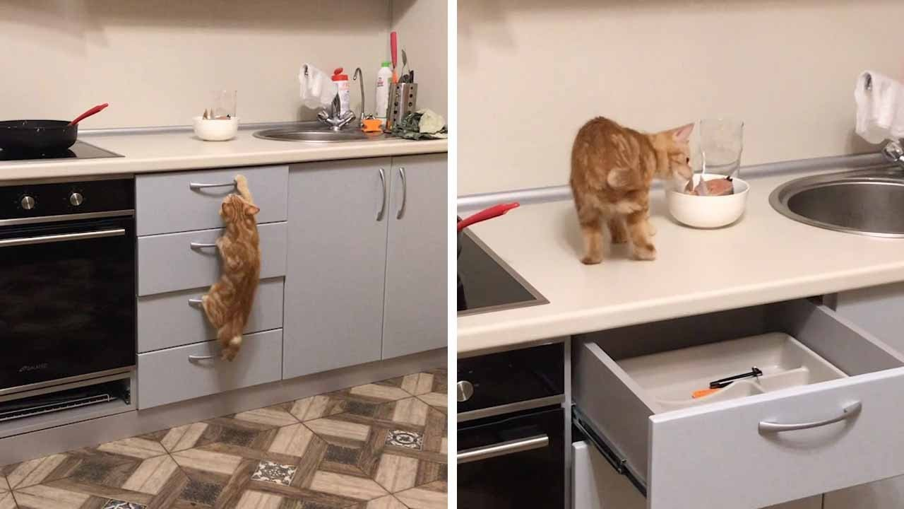 Cat Climbs Up Drawers For Fish