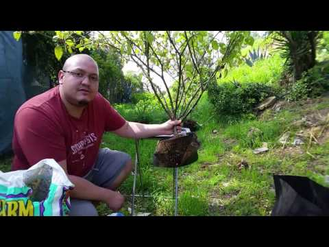 """How To Transplant A Hydroponic Plant To """"No Till"""" All Organic Soil"""