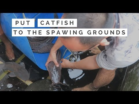 How To Put Catfish Into The Spawing Grounds