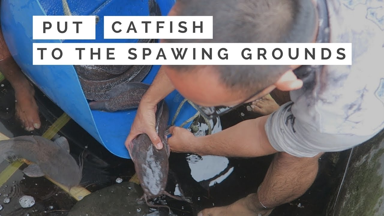 Download How To Put Catfish Into the Spawing Grounds