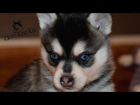 Most Adorable Alaskan Klee Kai Puppies 4 weeks old