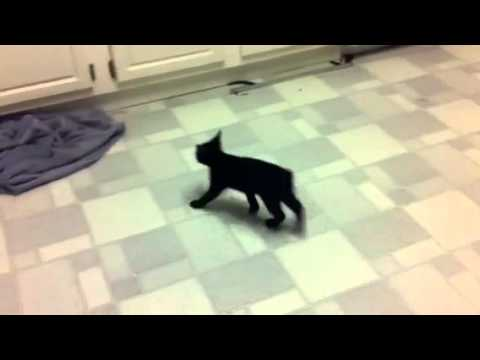 Funny Manx kittens Playing