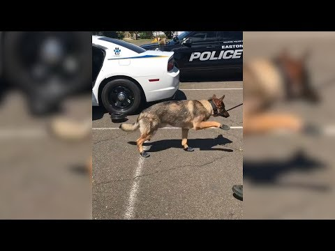 K9 Officer Walks Funny While Getting Used To New Booties