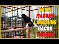 Kacer Habis Mabung Langsung Gacor Tarung Roll Speed Rapat Bikin Musuh Jadi Tambah Emosi  Mp3 - Mp4 Download