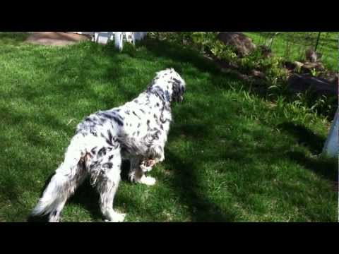 The Discipline of the English Setter