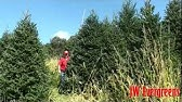 Pinery Christmas Trees Wholesale