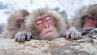 【SNOW MONKEY】ニホンザル ☆Great Natures 4 ☆ Bathing Snow Monkeys 地獄谷野猿公苑
