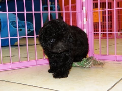 Toy Poodle Puppies Dogs For Sale In Montgomery Alabama Al