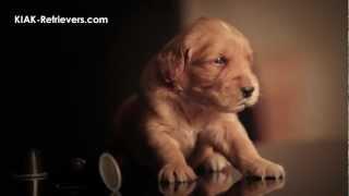KIAK-Retrievers.com - Golden Retriever Puppies (chiots) - Session Photo Session