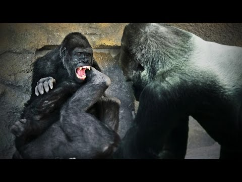 2 Gorillas Battle as Baby Tries to Break Up Fight