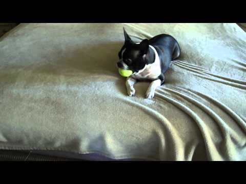 boston terrier making bed