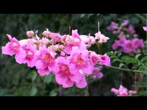 Beautiful Flower - Podranea Ricasoliana - Pink Trumpet Vine - Port St Johns Creeper