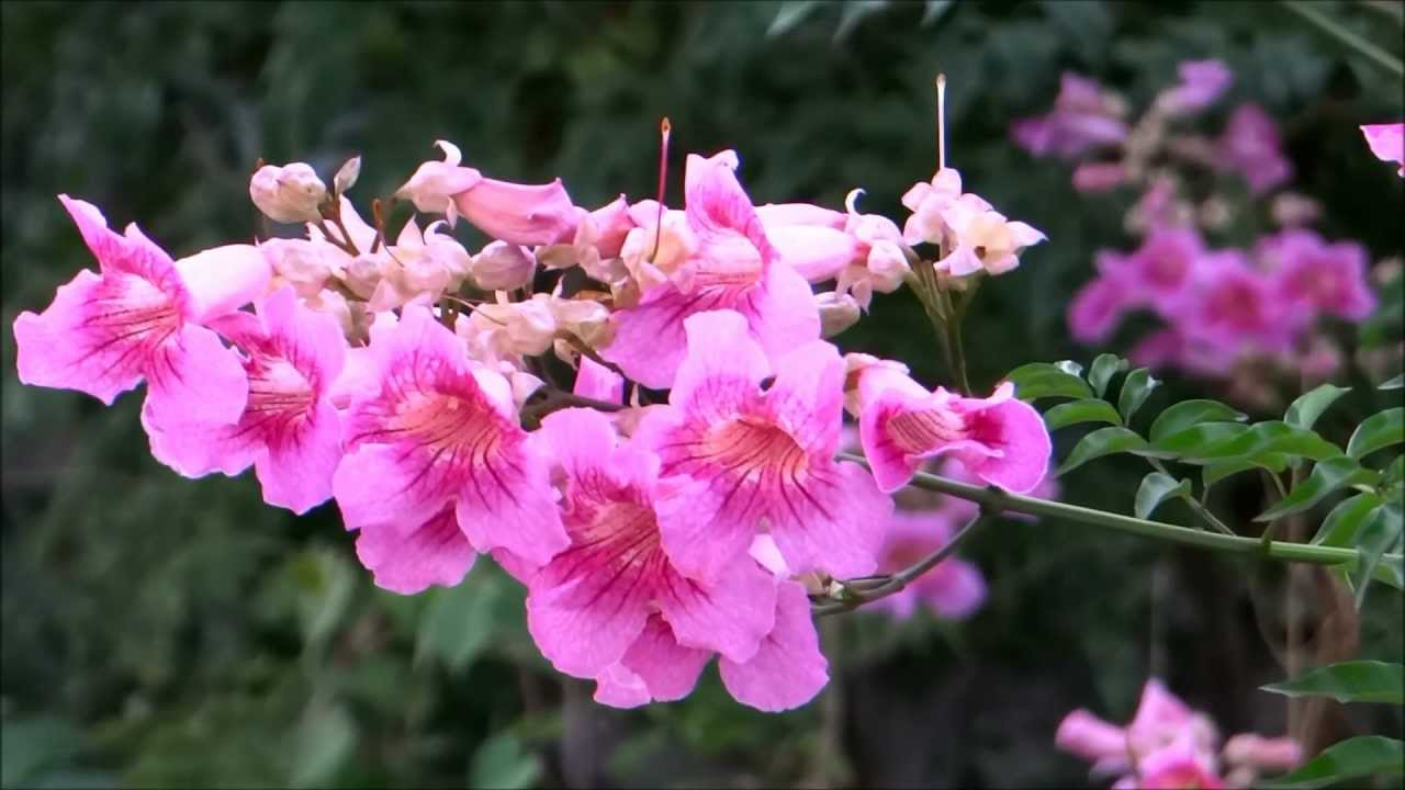Beautiful Flower Podranea Ricasoliana Pink Trumpet Vine Port