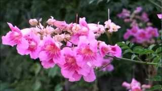 Beautiful Flower - Podranea Ricasoliana - Pink Trumpet Vine - Port St Johns Creeper