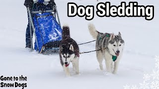 Kira the Husky Pulls a Dog Sled for the First Time | Dog Sledding Adventure Mushing Dogs