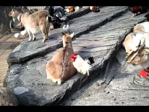 A Chicken Eating A Goat Youtube
