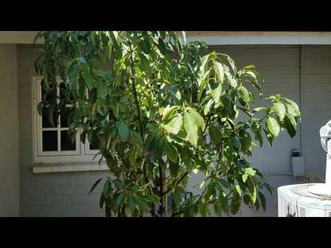 Where to plant an avacado tree in Phoenix AZ!