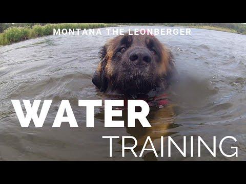 Montana,  leonberger dog , and humphrey,  newfoundland dog water rescue training