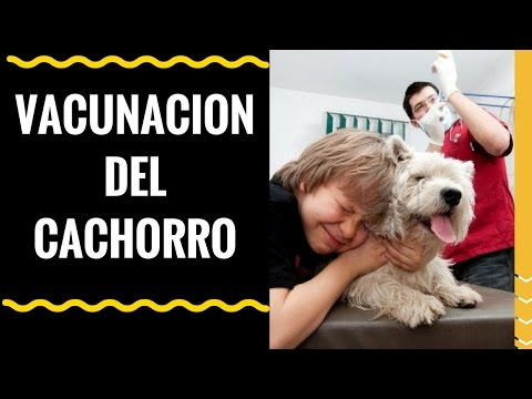 🎯calendario-de-vacunas-para-cachorros-✅-👉-sin-esto-tu-cachorro-puede-morir-👈🐶-🐩🎯