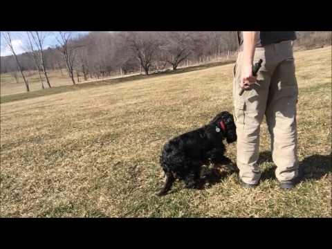 Dogs Gun Shyness and Sound Phobia. Thunder shirt ineffective