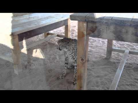 Cheetah attacking in Al Ain Zoo