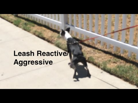 Leash Aggression Dog Training Part 1