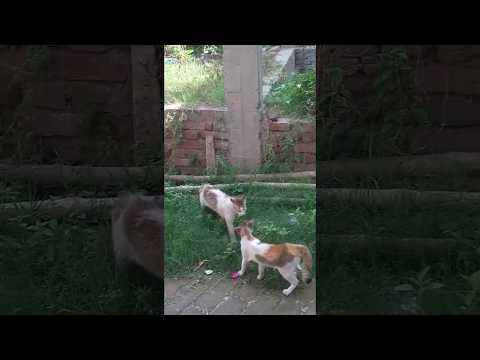 Two Cats Fighting || Very Angry Cats || Must Watch!! ||By Rahul Thakur