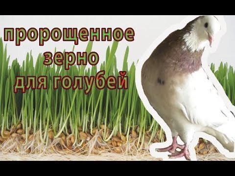 Пророщенное зерно, витамины для ГОЛУБЕЙ и ДРУГИХ ПТИЦ