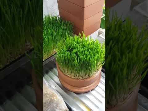 odla vetegräs utan jord