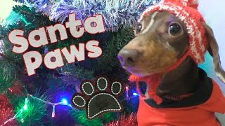 Bad Dachshund: Santa Paws