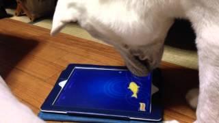 生後6ヶ月の紀州犬の赤ちゃんにiPadアプリでゲームをさせてみました。 ...