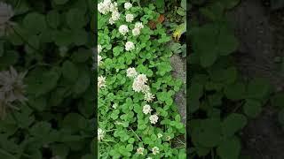 シロツメグサの花  です.