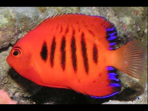 Top 10  Angelfish (Dwarf) For Saltwater Aquarium