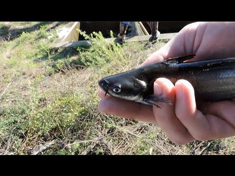 Blue Catfish Stocking The Ohio River: Hocking College