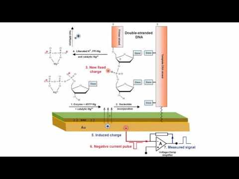 Electronic DNA Sensing and Ion Torrent Systems - Bio-IT World