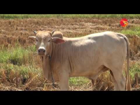 Burma's Lack of Organic Farming