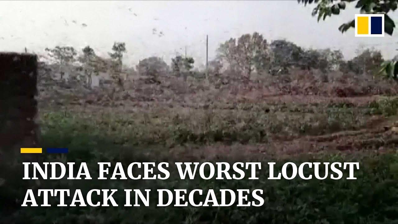Worst locust attack in decades devastates Indian crops amid coronavirus pandemic