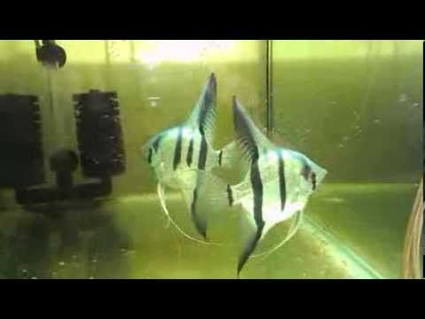 Blue Zebra Angelfish  Breending Family