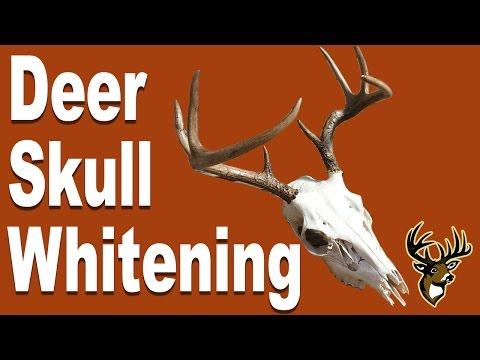 Deer Skull Whitening for European Mount - Step 2