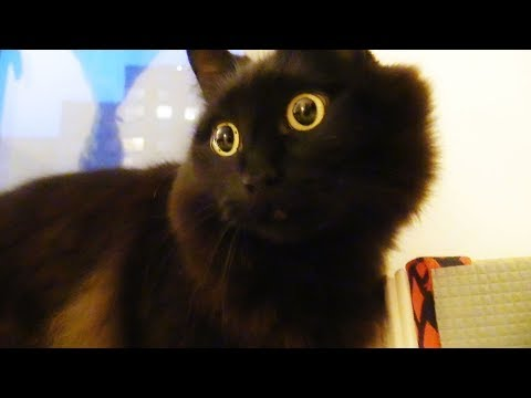 飼い主をつけまわすねこ、しおちゃん Theo the cat follows his human dad - YouTube
