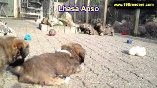 Lhasa Apso, Puppies, For, Sale In Toronto, Canada, Cities, Montreal, Vancouver, Calgary