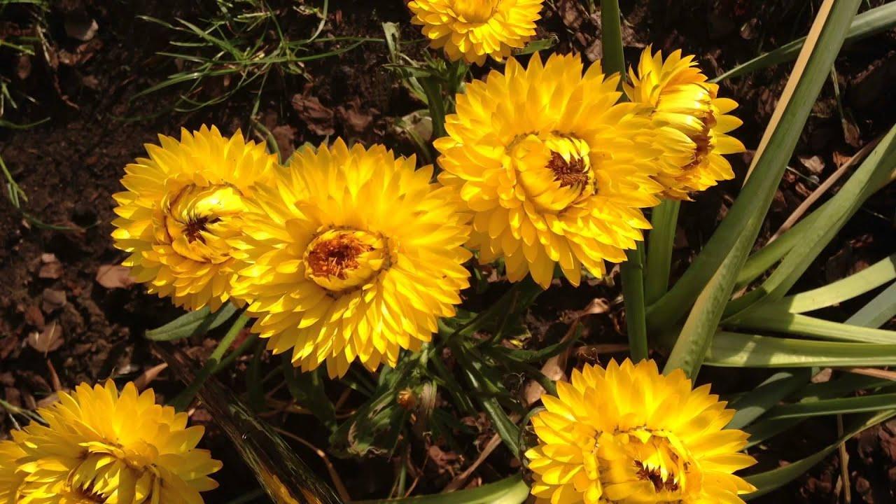 Strohblumen Trocknen aufgehende strohblume