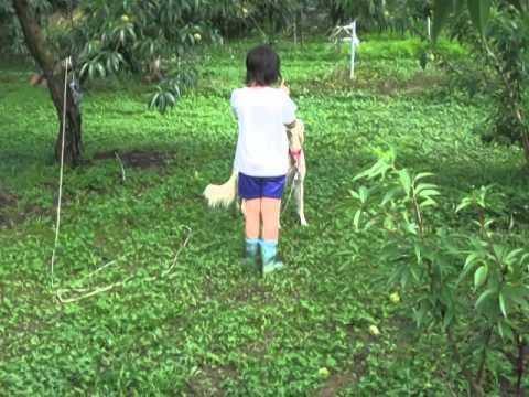 果樹園とサルーキと子供♪(Saluki)
