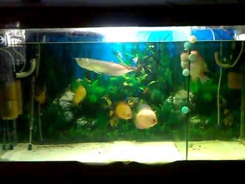arowana eating discus fish youtube