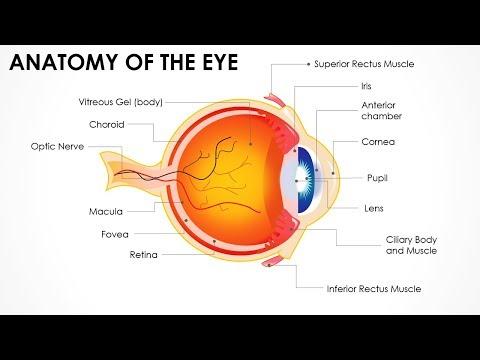 Anatomy of the Eye - Editable PowerPoint Presentation/Main parts of Human Eye /Free PPT