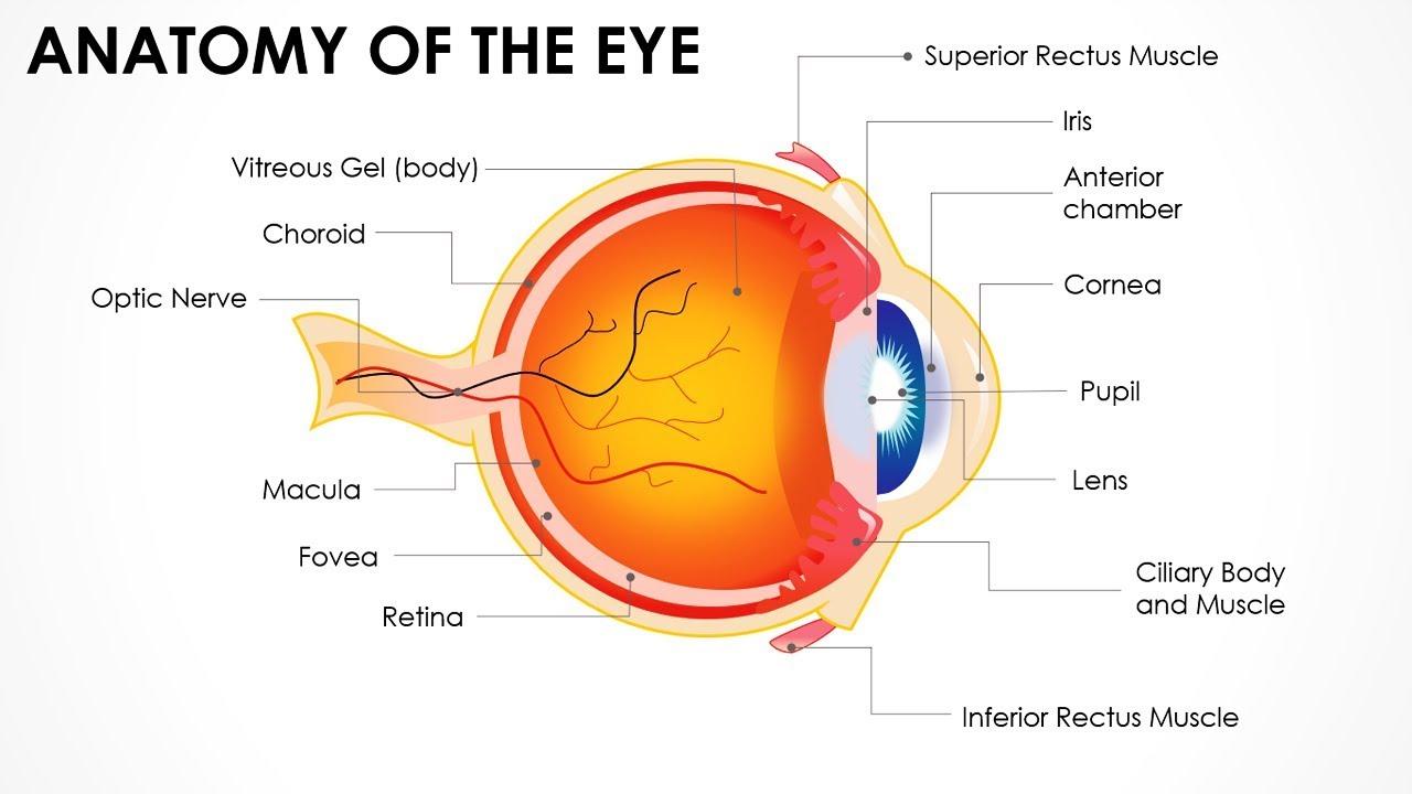 Anatomy Of The Eye Editable Powerpoint Presentation Main Parts Of Human Eye Free Ppt